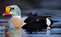 King-Eider-Jan-Pedersen