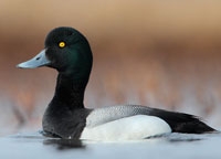 Scaup-Jacob-Spendelow