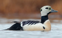 Stellers-Eider-Jacob-Spendelow